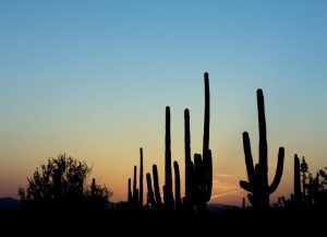 photo shows cacti silhouettes in the sunset